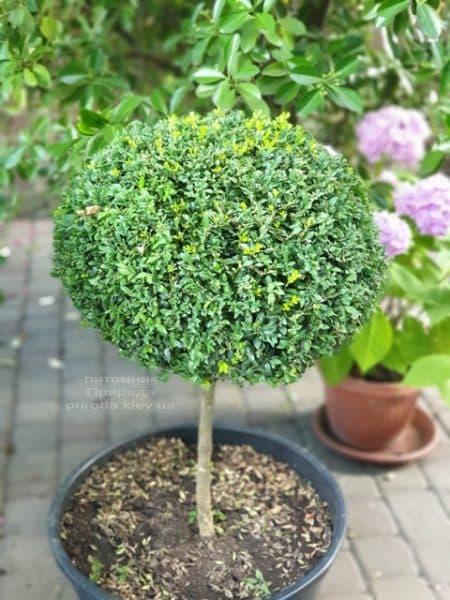 Самшит на ножке (Buxus sempervirens) ФОТО Питомник растений Природа (1)