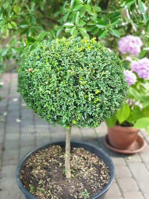 Самшит на ніжці (Buxus sempervirens) ФОТО Розплідник рослин Природа (1)
