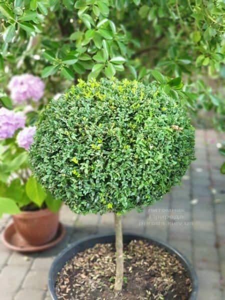 Самшит на ножке (Buxus sempervirens) ФОТО Питомник растений Природа (2)