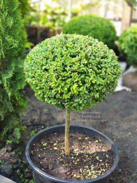 Самшит на ножке (Buxus sempervirens) ФОТО Питомник растений Природа (3)