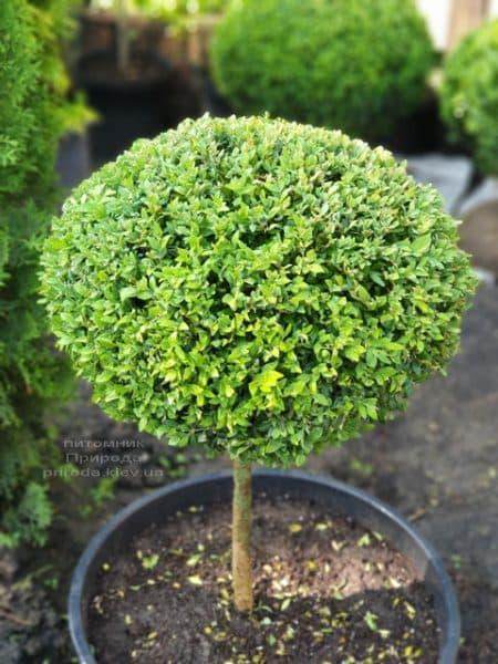 Самшит на ножке (Buxus sempervirens) ФОТО Питомник растений Природа (4)