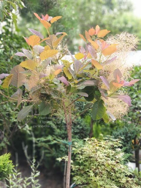 Скумпія шкіряна Грейс (Cotinus coggygria Grace) ФОТО Розплідник рослин Природа (6)