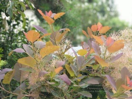 Скумпия кожевенная Грейс (Cotinus coggygria Grace) ФОТО Питомник растений Природа (7)