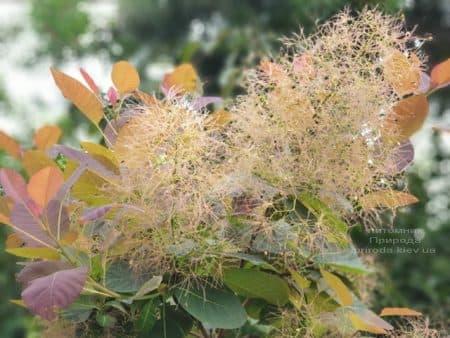 Скумпия кожевенная Грейс (Cotinus coggygria Grace) ФОТО Питомник растений Природа (8)