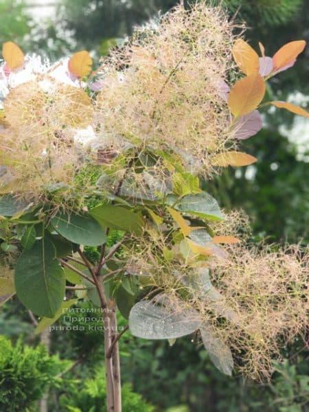 Скумпия кожевенная Грейс (Cotinus coggygria Grace) ФОТО Питомник растений Природа (9)