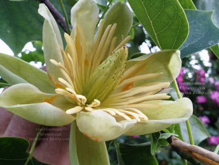 Тюльпановое дерево Лириодендрон (Liriodendron tulipifera) ФОТО Питомник растений Природа (11)