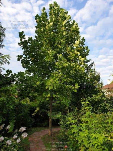 Тюльпановое дерево Лириодендрон (Liriodendron tulipifera) ФОТО Питомник растений Природа (14)