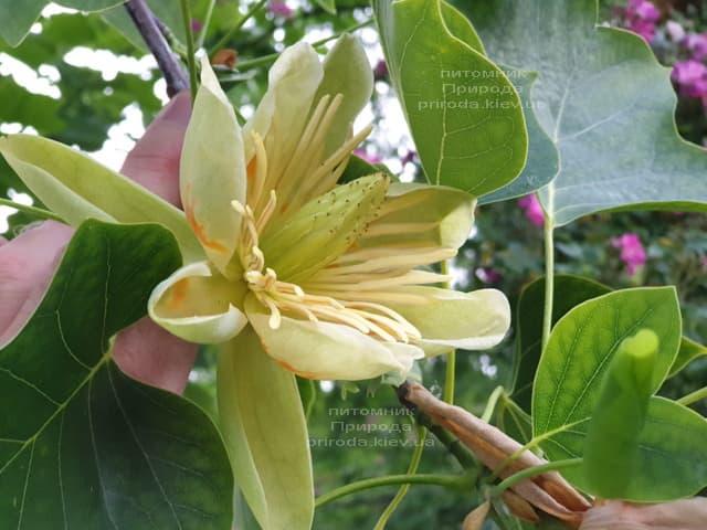 Тюльпановое дерево Лириодендрон (Liriodendron tulipifera) ФОТО Питомник растений Природа (9)