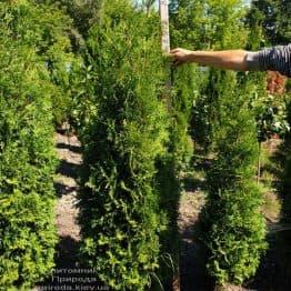 Туя западная колоновидная Колумна (Thuja occidentalis Columna) ФОТО Питомник растений Природа (1)