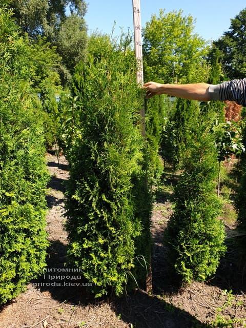 Туя західна колоновидна Колумна (Thuja occidentalis Columna) ФОТО Розплідник рослин Природа (1)
