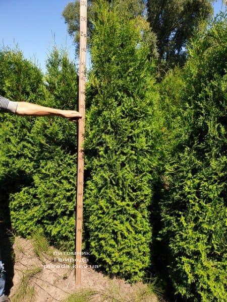 Туя західна колоновидна Колумна (Thuja occidentalis Columna) ФОТО Розплідник рослин Природа (11)