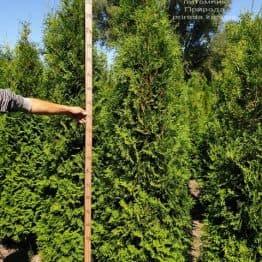Туя западная колоновидная Колумна (Thuja occidentalis Columna) ФОТО Питомник растений Природа (12)
