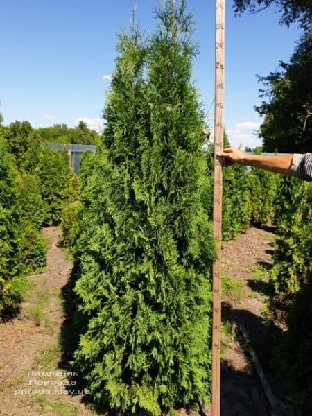Туя західна колоновидна Колумна (Thuja occidentalis Columna) ФОТО Розплідник рослин Природа (13)