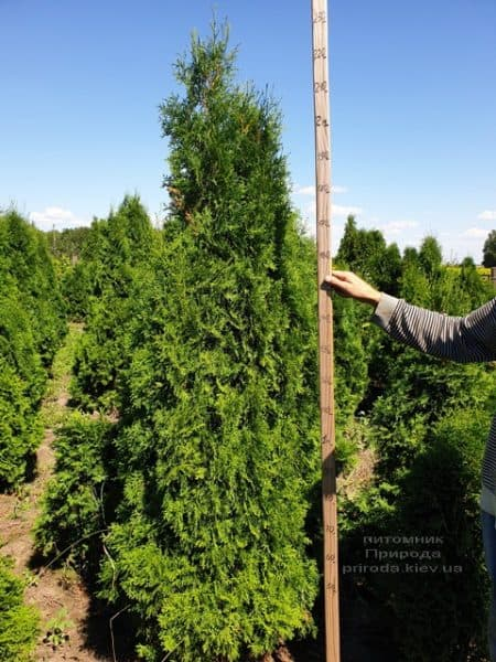 Туя західна колоновидна Колумна (Thuja occidentalis Columna) ФОТО Розплідник рослин Природа (14)