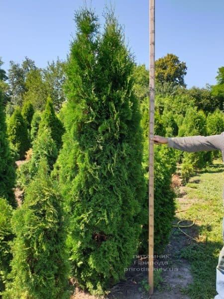 Туя західна колоновидна Колумна (Thuja occidentalis Columna) ФОТО Розплідник рослин Природа (16)