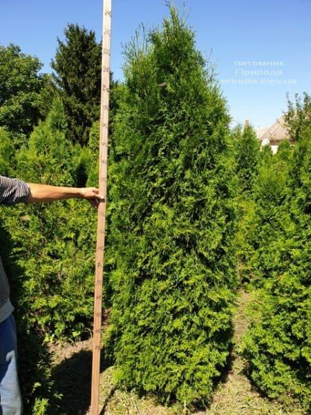 Туя західна колоновидна Колумна (Thuja occidentalis Columna) ФОТО Розплідник рослин Природа (17)