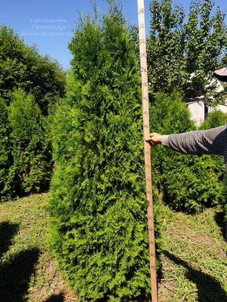 Туя західна колоновидна Колумна (Thuja occidentalis Columna) ФОТО Розплідник рослин Природа (18)