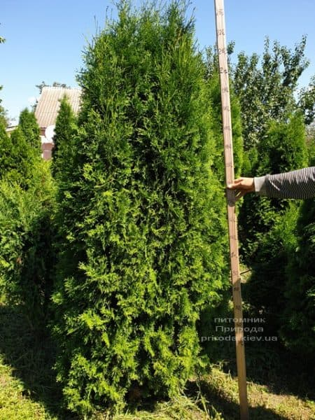 Туя західна колоновидна Колумна (Thuja occidentalis Columna) ФОТО Розплідник рослин Природа (19)