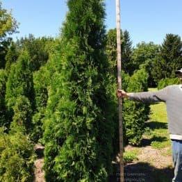 Туя западная колоновидная Колумна (Thuja occidentalis Columna) ФОТО Питомник растений Природа (20)