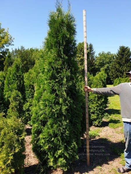 Туя західна колоновидна Колумна (Thuja occidentalis Columna) ФОТО Розплідник рослин Природа (20)