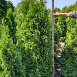 Туя западная колоновидная Колумна (Thuja occidentalis Columna) ФОТО Питомник растений Природа (3)