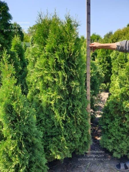 Туя західна колоновидна Колумна (Thuja occidentalis Columna) ФОТО Розплідник рослин Природа (3)