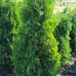 Туя западная колоновидная Колумна (Thuja occidentalis Columna) ФОТО Питомник растений Природа (4)