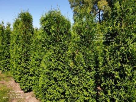 Туя западная колоновидная Колумна (Thuja occidentalis Columna) ФОТО Питомник растений Природа (6)