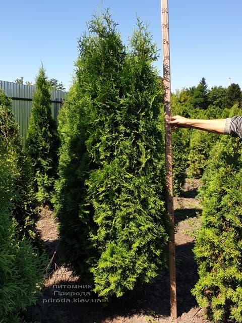 Туя западная колоновидная Колумна (Thuja occidentalis Columna) ФОТО Питомник растений Природа (8)