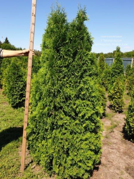 Туя западная колоновидная Колумна (Thuja occidentalis Columna) ФОТО Питомник растений Природа (9)