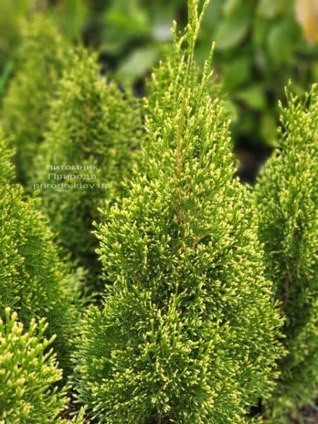 Туя західна Смарагд Вітбонд (Thuja occidentalis Smaragd Vitbond) ФОТО Розплідник рослин Природа (1)