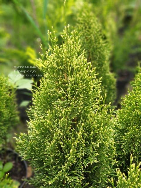 Туя західна Смарагд Вітбонд (Thuja occidentalis Smaragd Vitbond) ФОТО Розплідник рослин Природа (2)