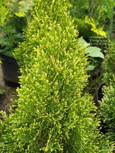 Туя західна Смарагд Вітбонд (Thuja occidentalis Smaragd Vitbond) ФОТО Розплідник рослин Природа (4)