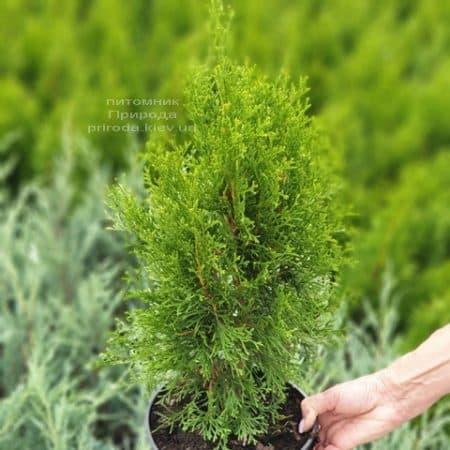 Туя західна Смарагд (Thuja occidentalis Smaragd) ФОТО Розплідник рослин Природа (103)