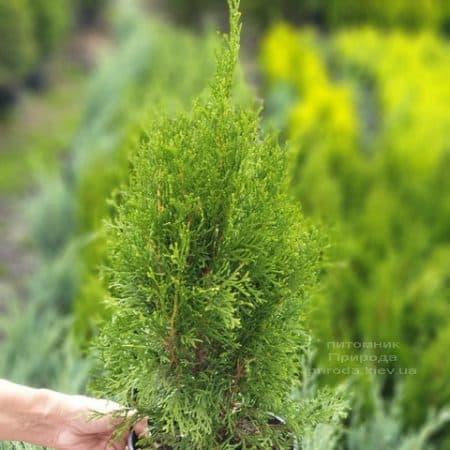 Туя західна Смарагд (Thuja occidentalis Smaragd) ФОТО Розплідник рослин Природа (104)