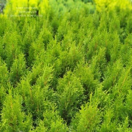 Туя західна Смарагд (Thuja occidentalis Smaragd) ФОТО Розплідник рослин Природа (105)