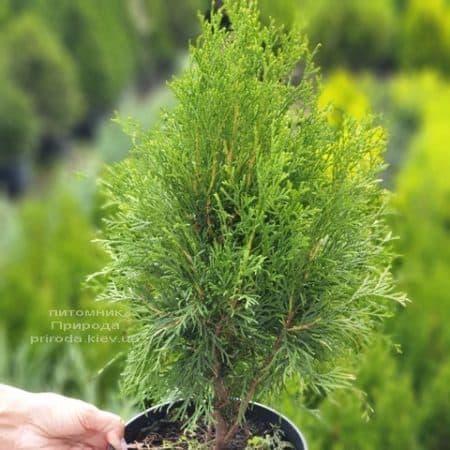 Туя західна Смарагд (Thuja occidentalis Smaragd) ФОТО Розплідник рослин Природа (106)