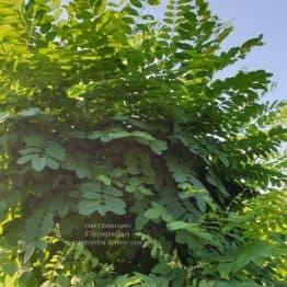 Робиния псевдоакация (Robinia pseudoacacia) ФОТО Питомник растений Природа (1)