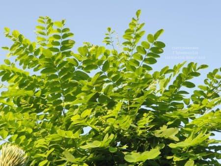Робиния псевдоакация (Robinia pseudoacacia) ФОТО Питомник растений Природа (3)