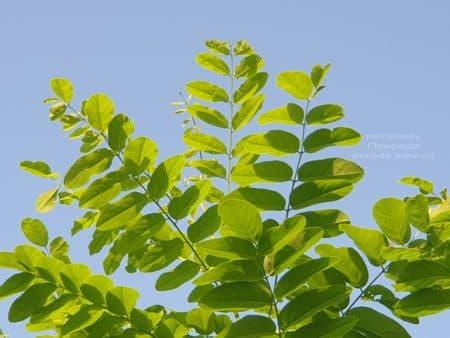 Робиния псевдоакация (Robinia pseudoacacia) ФОТО Питомник растений Природа (4)