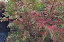 Бересклет крылатый (Euonymus alatus) ФОТО Питомник растений Природа (15)