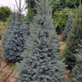 Ель голубая Глаука (Picea pungens Glauca) ФОТО Питомник растений Природа (80)