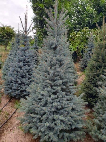 Ялина блакитна Глаука (Picea pungens Glauca) ФОТО Розплідник рослин Природа (80)