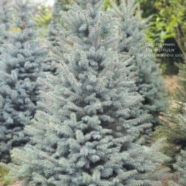 Ель голубая Глаука (Picea pungens Glauca) ФОТО Питомник растений Природа (81)