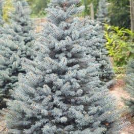 Ель голубая Глаука (Picea pungens Glauca) ФОТО Питомник растений Природа (82)