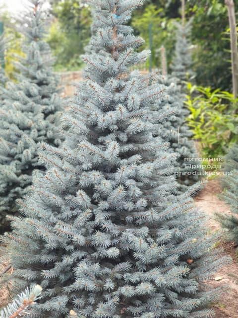 Ялина блакитна Глаука (Picea pungens Glauca) ФОТО Розплідник рослин Природа (82)