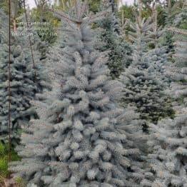 Ель голубая Глаука (Picea pungens Glauca) ФОТО Питомник растений Природа (84)