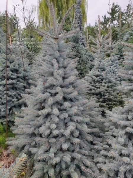 Ялина блакитна Глаука (Picea pungens Glauca) ФОТО Розплідник рослин Природа (84)