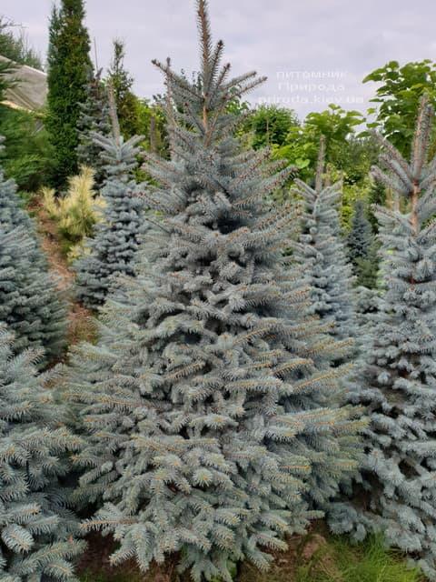 Ялина блакитна Глаука (Picea pungens Glauca) ФОТО Розплідник рослин Природа (85)