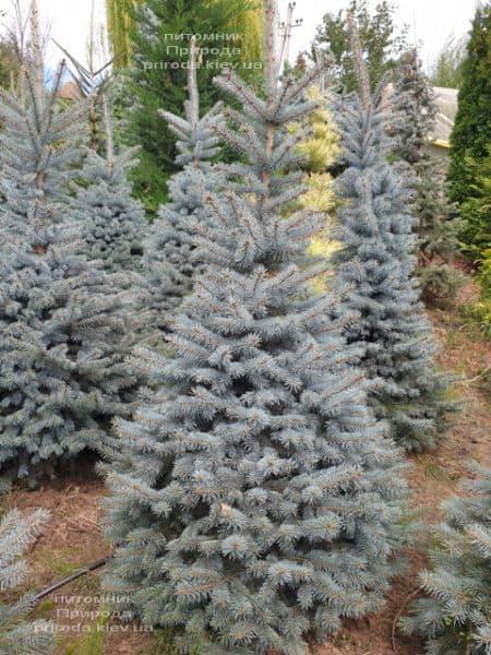 Ялина блакитна Глаука (Picea pungens Glauca) ФОТО Розплідник рослин Природа (88)